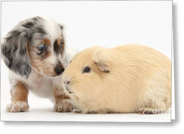House Pet Greeting Cards - Dachshund Pup Yellow Guinea Pig Greeting Card by Mark Taylor