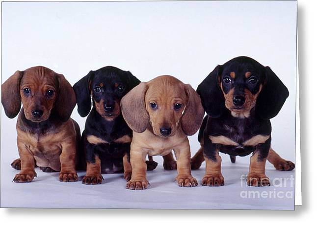 Dachshund Puppies  Greeting Card by Carolyn McKeone and Photo Researchers