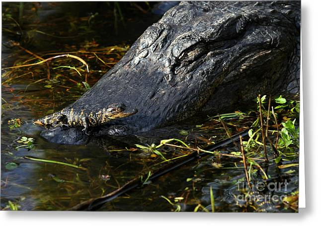 Large Scale Greeting Cards - Daddy Alligator and his Baby Greeting Card by Sabrina L Ryan