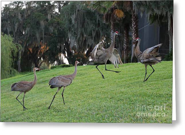 Sandhill Cranes Greeting Cards - Dads Showing Off Greeting Card by Carol Groenen