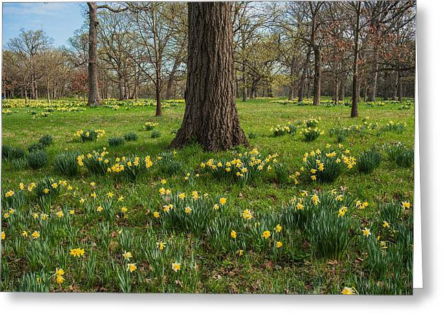 Morton Greeting Cards - Daffodil Glade Number 2 Greeting Card by Steve Gadomski