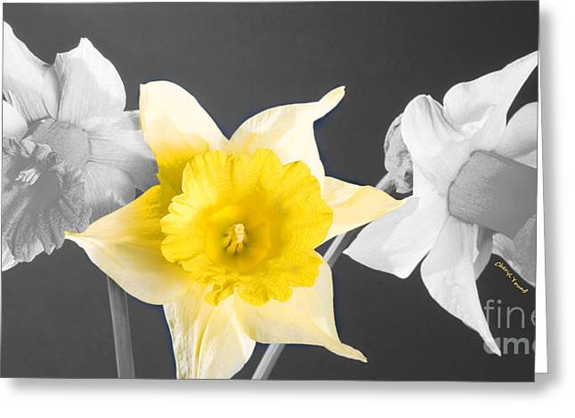 Golden Bell Greeting Cards - Daffodil Trio  Greeting Card by Cheryl Young