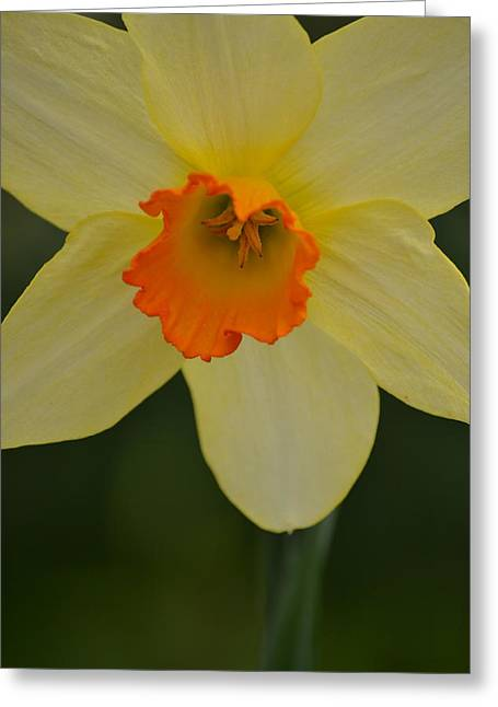 Daffodilicious Greeting Card by JD Grimes