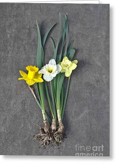 Harvest Time Greeting Cards - Daffodils Greeting Card by Photo Researchers, Inc.