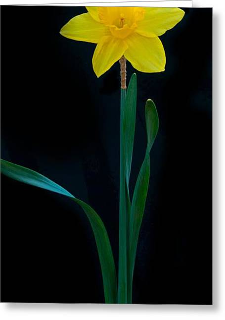 Garden Grown Photographs Greeting Cards - Dafodil Panorama 4432 Greeting Card by Michael Peychich