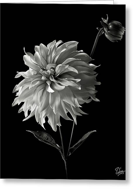 Flower Photos Greeting Cards - Dahlia and Bud in Black and White Greeting Card by Endre Balogh