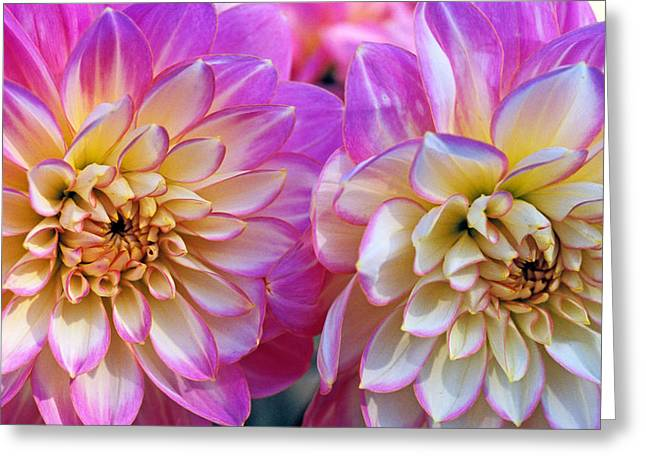 Pink Flower Prints Greeting Cards - Dahlia Cousins Greeting Card by Kathy Yates