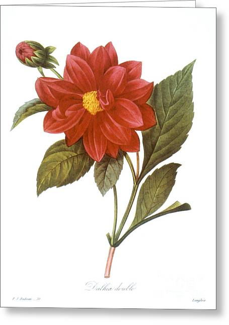 1833 Greeting Cards - Dahlia (dahlia Pinnata) Greeting Card by Granger