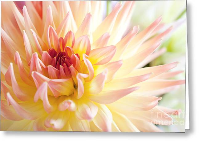 Dahlia Greeting Cards - Dahlia Flower 01 Greeting Card by Nailia Schwarz