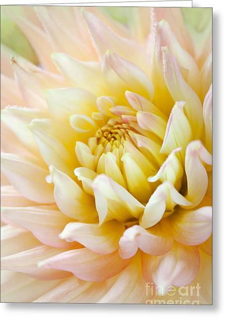 Dahlia Greeting Cards - Dahlia Flower 03 Greeting Card by Nailia Schwarz