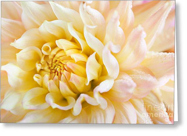 Dahlia Greeting Cards - Dahlia Flower 08 Greeting Card by Nailia Schwarz