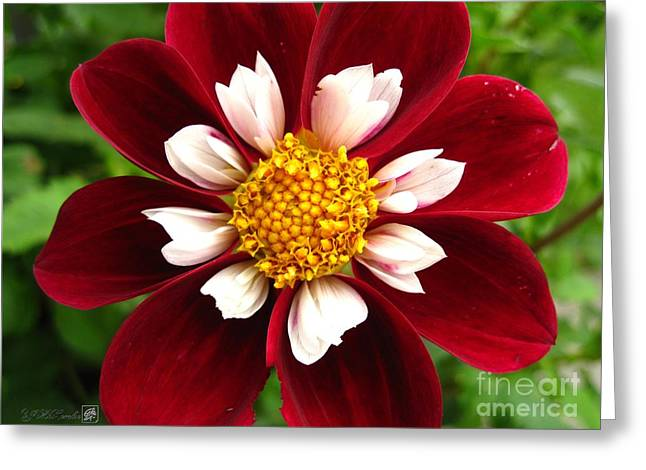 Red Wine Prints Photographs Greeting Cards - Dahlia named Mary Eveline Greeting Card by J McCombie