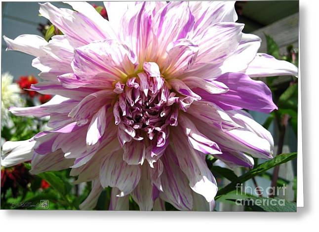 Beautiful Scenery Greeting Cards - Dahlia named Moms Special Greeting Card by J McCombie