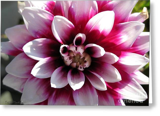 Red Wine Prints Photographs Greeting Cards - Dahlia named Mystery Day Greeting Card by J McCombie