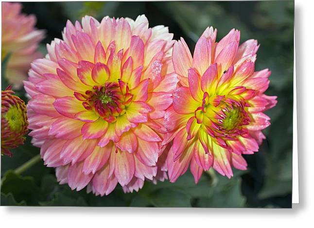 Pablo Greeting Cards - Dahlia pablo Greeting Card by Dr Keith Wheeler