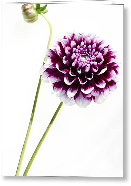Purples Greeting Cards - Dahlia Greeting Card by Rebecca Cozart