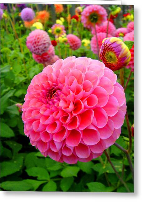 Roberto Alamino Greeting Cards - Dahlia Greeting Card by Roberto Alamino
