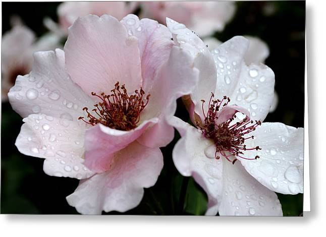 Tea Rose Greeting Cards - Dainty Rose Bess Greeting Card by Julie Palencia