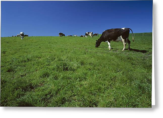 Animal Behaviour Greeting Cards - Dairy Cows Grazing In Point Reyes Greeting Card by Greg Probst