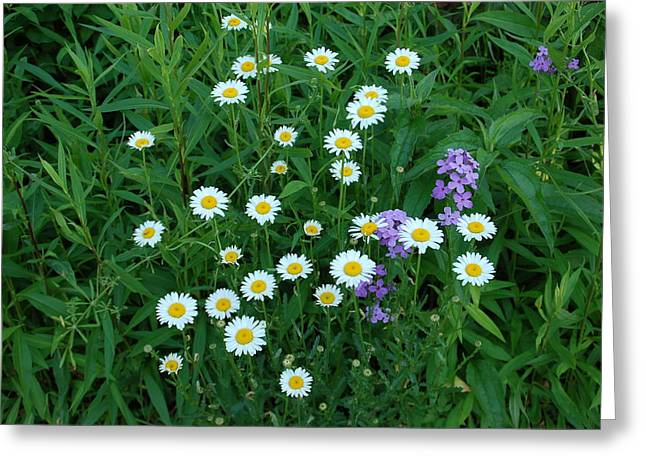 Blooms Greeting Cards - Daisies Greeting Card by Aimee L Maher Photography and Art
