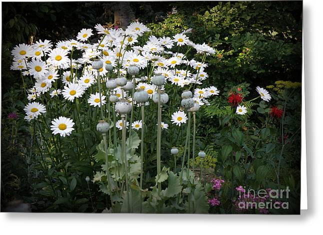 Searcy Greeting Cards - Daisies and Poppies Greeting Card by Tanya  Searcy