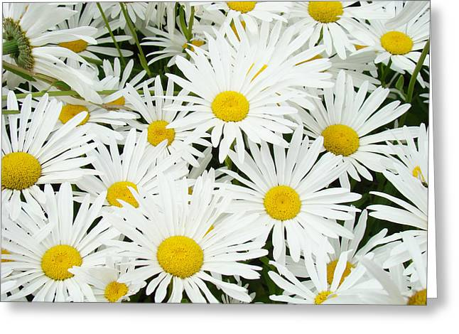 Daisy Framed Prints Greeting Cards - Daisies art prints White Daisy Flowers Floral Greeting Card by Baslee Troutman