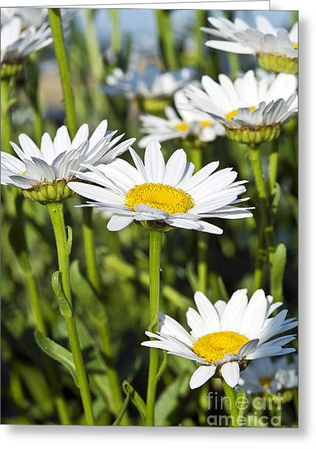 Bellis Greeting Cards - Daisies Greeting Card by John Greim