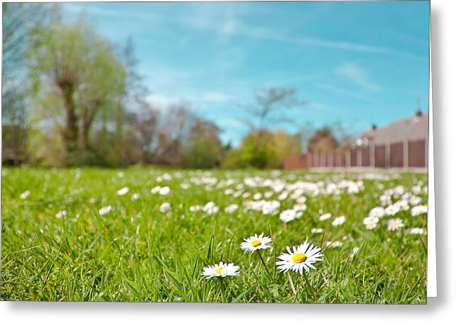 Paradise Meadow Greeting Cards - Daisies Greeting Card by Tom Gowanlock