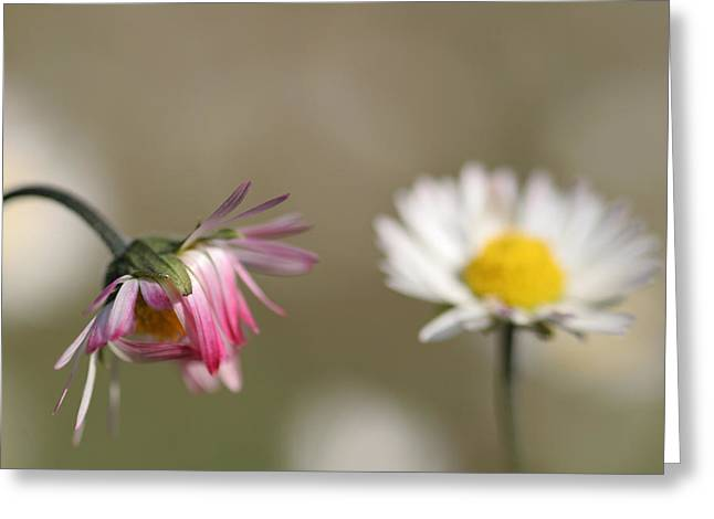 Flower Photos Pyrography Greeting Cards - Daisy Greeting Card by Alon Meir