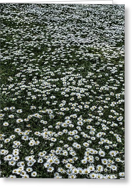 Lots Of Daisies Greeting Cards - Daisy Daisy give me.... Greeting Card by John Farnan