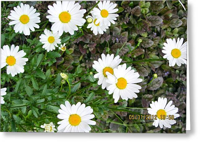 Flower Photos Pyrography Greeting Cards - Daisy Daisy Give Me Your Answer Do Greeting Card by Sarah Gayle Carter