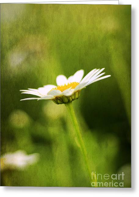 Pasture Herb Greeting Cards - Daisy Greeting Card by Darren Fisher