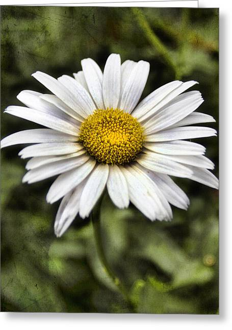 Bellis Greeting Cards - Daisy Dazzle Greeting Card by Peter Chilelli