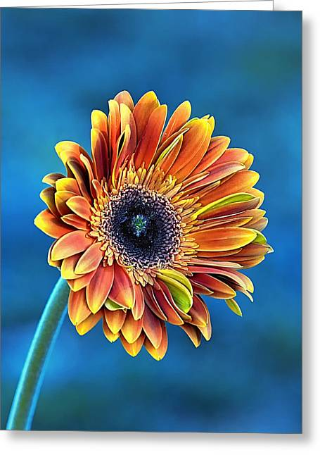 Gerber Daisies Greeting Cards - Daisy Dialation Greeting Card by Bill Tiepelman