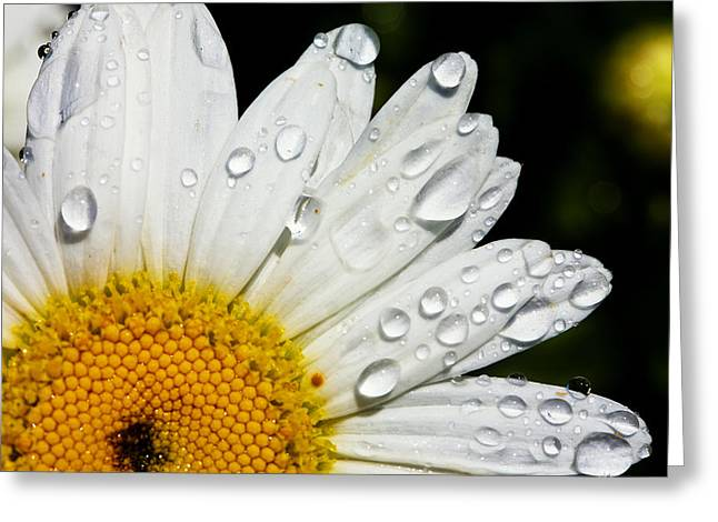 Flower Photograph Greeting Cards - Daisy Drops Greeting Card by Rick Berk