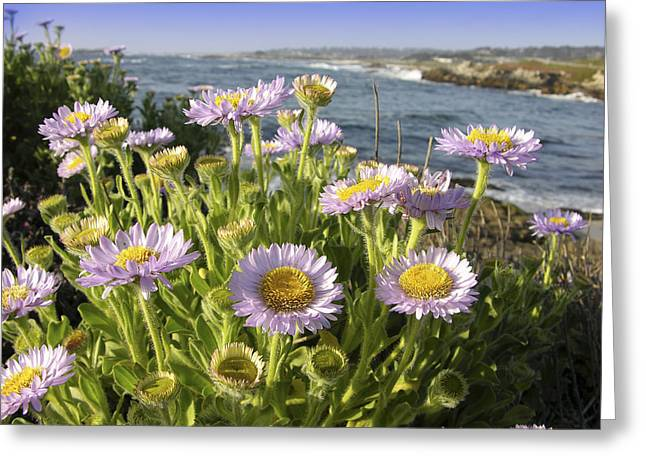 Big Sur California Greeting Cards - Daisy Flowers Greeting Card by Tony Craddock