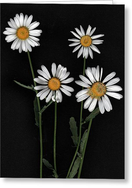 Floral Photographs Digital Greeting Cards - Daisy Greeting Card by Gary Lobdell