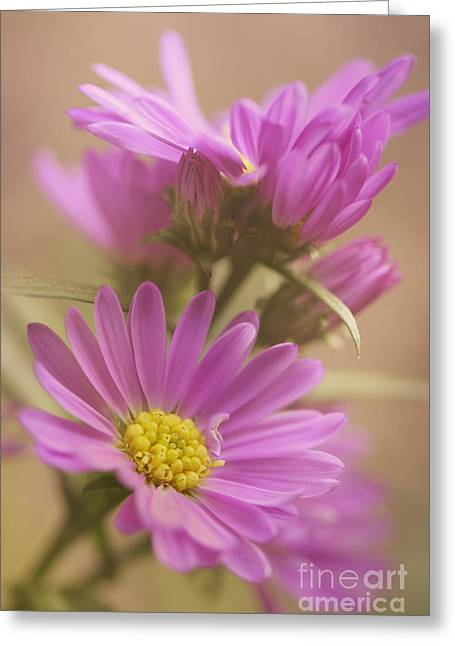 Daisy Greeting Card by LHJB Photography