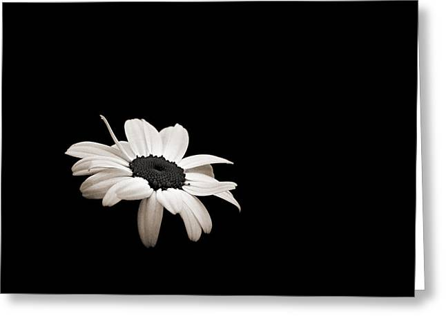 Wisconsin Wildflowers Greeting Cards - Daisy in the Dark Greeting Card by Bill Pevlor