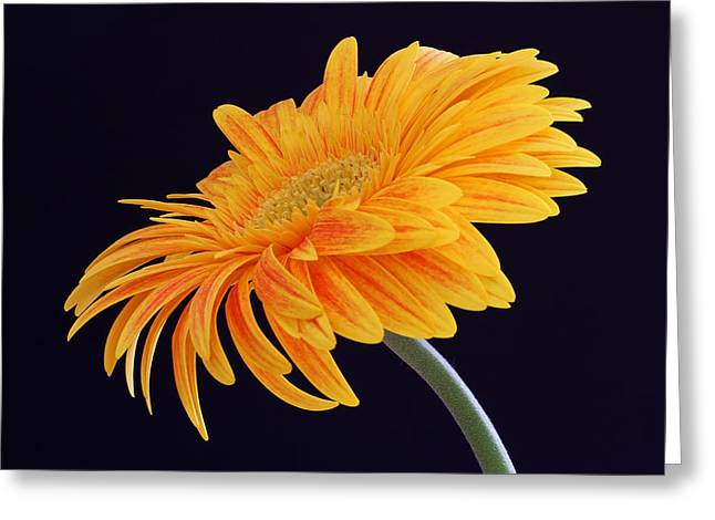 Gelb Greeting Cards - Daisy of Joy Greeting Card by Juergen Roth