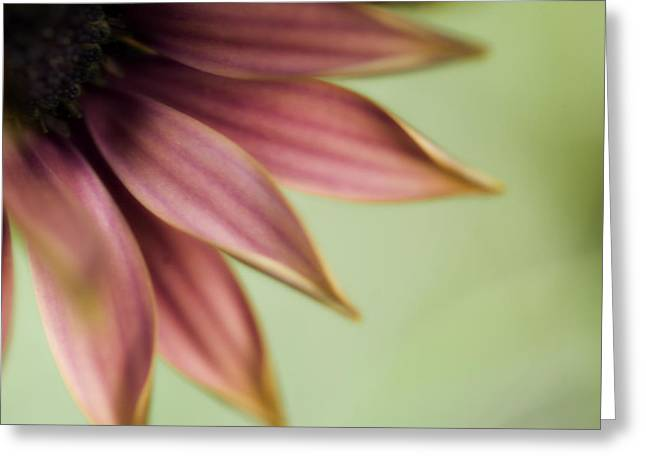 Soft Light Greeting Cards - Daisy Petals Greeting Card by Bonnie Bruno