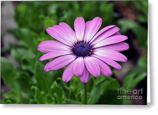 African Art Pyrography Greeting Cards - Daisy Summer Greeting Card by Whispering Feather Gallery