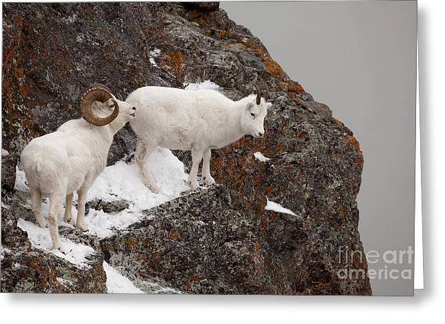Ledge Photographs Greeting Cards - Dall Sheep on a Ledge Greeting Card by Tim Grams