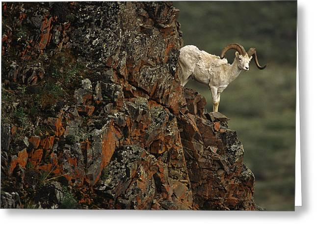 Ledge Photographs Greeting Cards - Dall Sheep Rams Perched On Rock Ledge Greeting Card by Doug Lindstrand