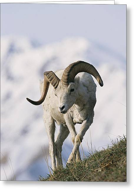 Wild Animal Greeting Cards - Dalls Sheep Ovis Dalli, Ram,  Denali Greeting Card by Roy Toft