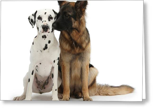 Domesticated Pet Greeting Cards - Dalmation And German Shepherd Greeting Card by Mark Taylor