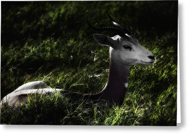Barry Styles Greeting Cards - Dama Gazelle 3 Greeting Card by Barry Styles