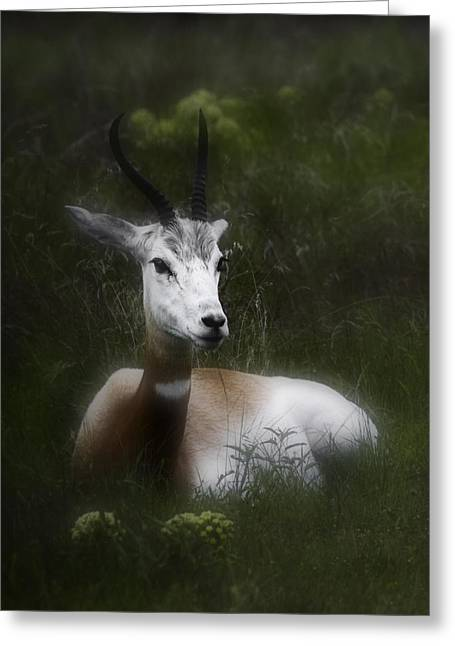 Barry Styles Greeting Cards - Dama Gazelle 4 Greeting Card by Barry Styles