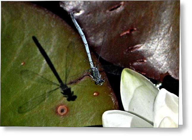 Nature Greeting Cards - Damselfly in the Lilly Greeting Card by Don Mann