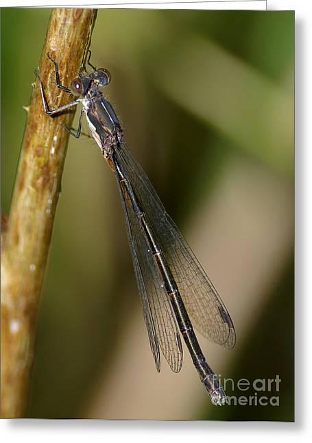 Damselfly Greeting Cards - Damselfly Greeting Card by Sharon  Talson